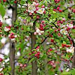 Apple tree blooms