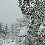 Oak under the snow