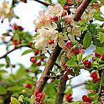 Ranetka apple tree