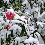 Roses and snow_6