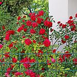 Roses near houses_1
