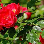 Roses near houses_10