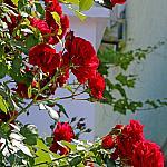 Roses near houses_11
