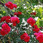 Roses near houses_12