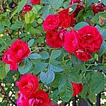Roses near houses_14