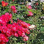 Roses near houses_15