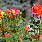 Roses near houses_16