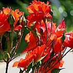 Roses near houses_17