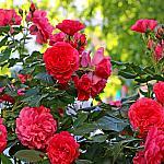 Roses near houses_19