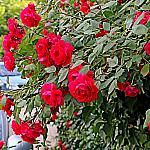 Roses near houses_2