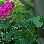 Roses near houses_3