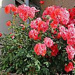 Roses near houses_4
