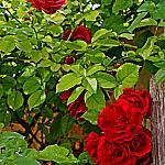 Roses near houses_5