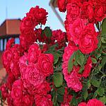 Roses near houses_6
