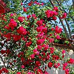 Roses near houses_7