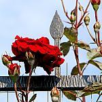 Roses near houses_8