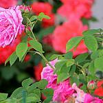 Roses near houses_9