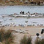 Seagulls and cormorants