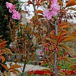 Sevastopol sakura_4