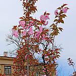 Sevastopol sakura_5