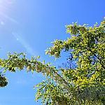 Solar acacia