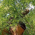 Sophora Ushakova blooms again