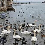 Swans and others